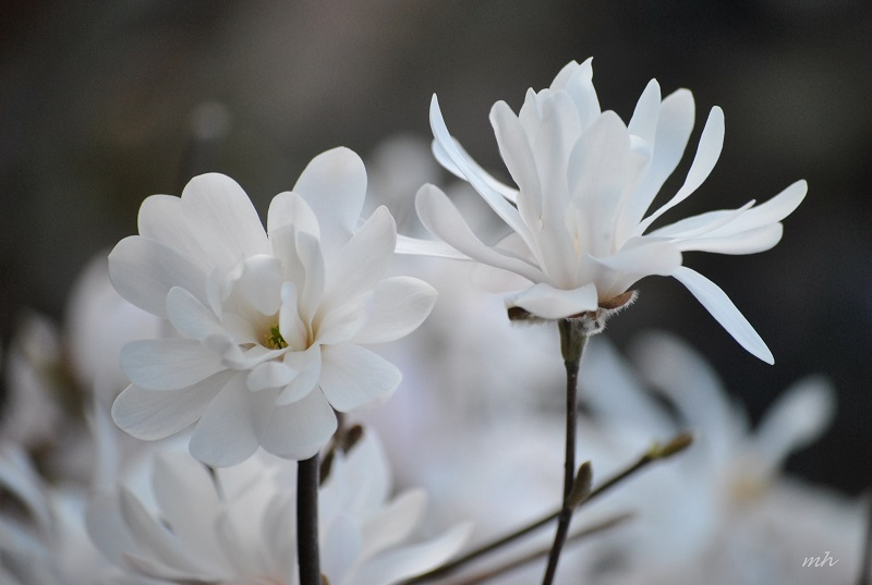 cách trồng và chăm sóc hoa mộc lan